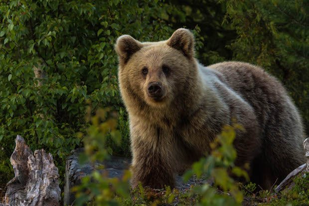 European brown bear copy.jpg