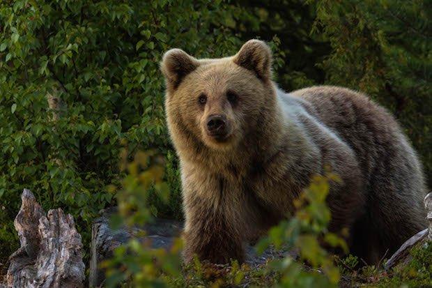 European brown bear copy.jpg