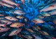 A Shoal of Snappers Ras Mohammed by Len Deeley FRPS DPAGB AFIAP BPE3.jpg
