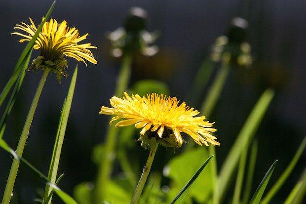 common-dandelion-dandelion-flower-bud-56896.jpeg