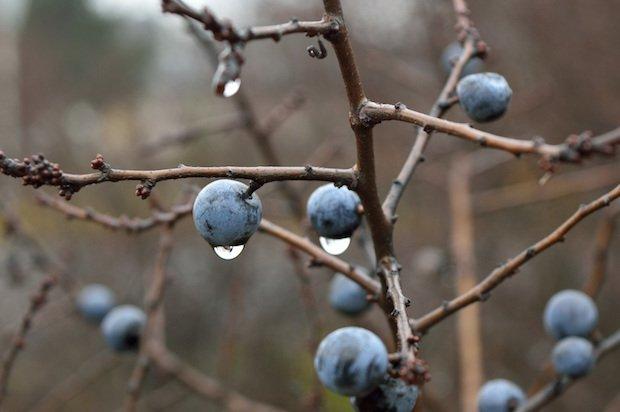 sloe-nature-crop-berry-39372.jpeg
