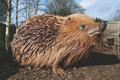 The huge hedgehog in its new home at the British Wildlife Centre