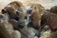 bocketts-farm-little-piglets-easter.jpg