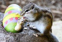 chipmunk-with-easter-egg-battersea-park-zoo.jpg