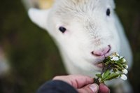 lambs-animal-rangers-holyport-summer-camp.jpeg