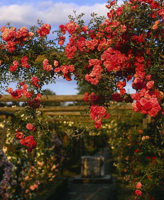 Polesden Lacey rose garden ©National Trust Images, Nick Meers copy-min.jpg