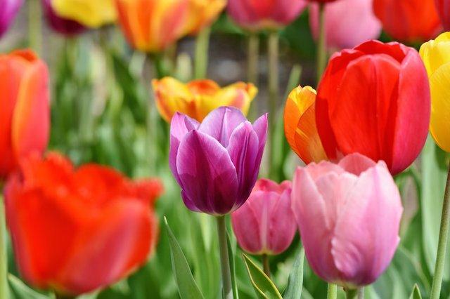 tulips-3321578.jpg