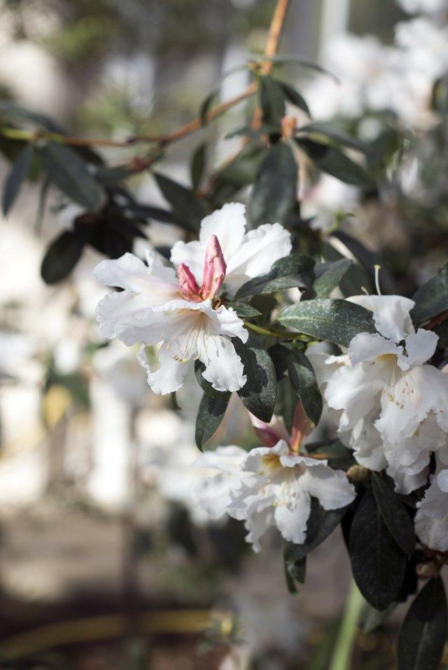 Rhododendron veitchianum-min.jpg