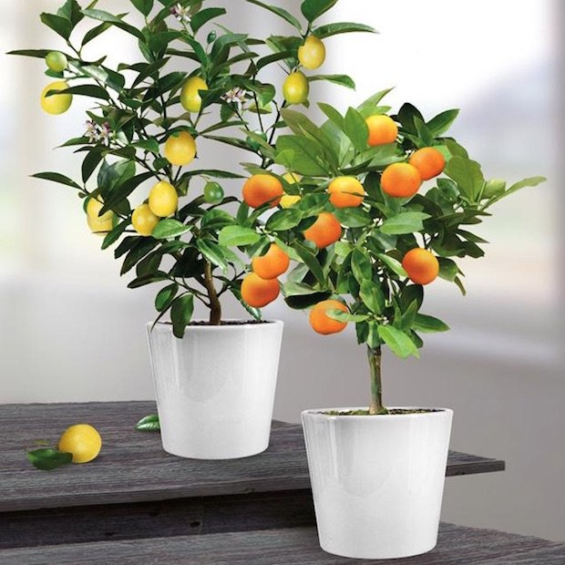lemon-orange-tree-grow-your-own.jpg