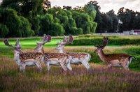 hampton-court-palace-golf-club-deers-min.jpg