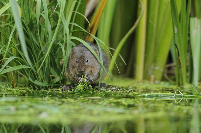 Water Vole (Arvicola amphibius), Kent, UK