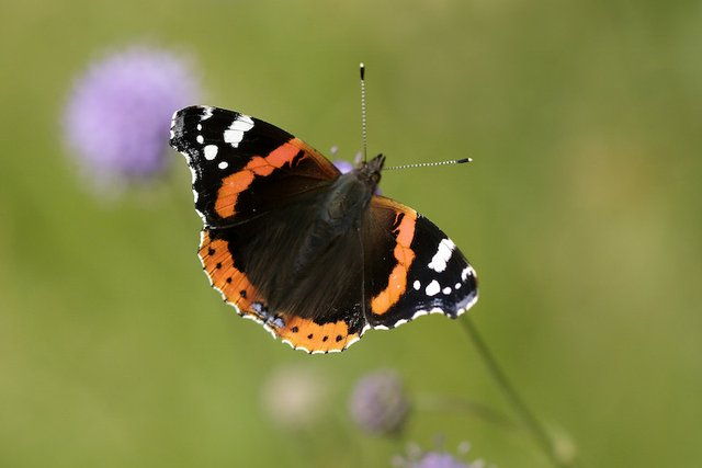 Alan%27s favourite butterfly - the Red Admiral_credit Iain H Leach copy 2.jpg