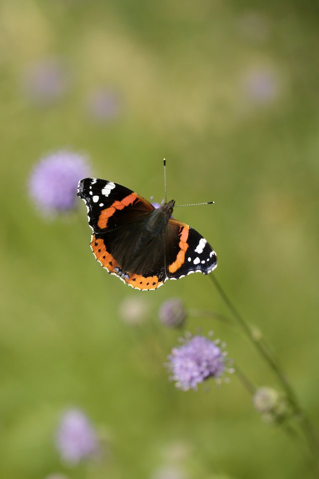 Alan%27s favourite butterfly - the Red Admiral_credit Iain H Leach copy.jpg