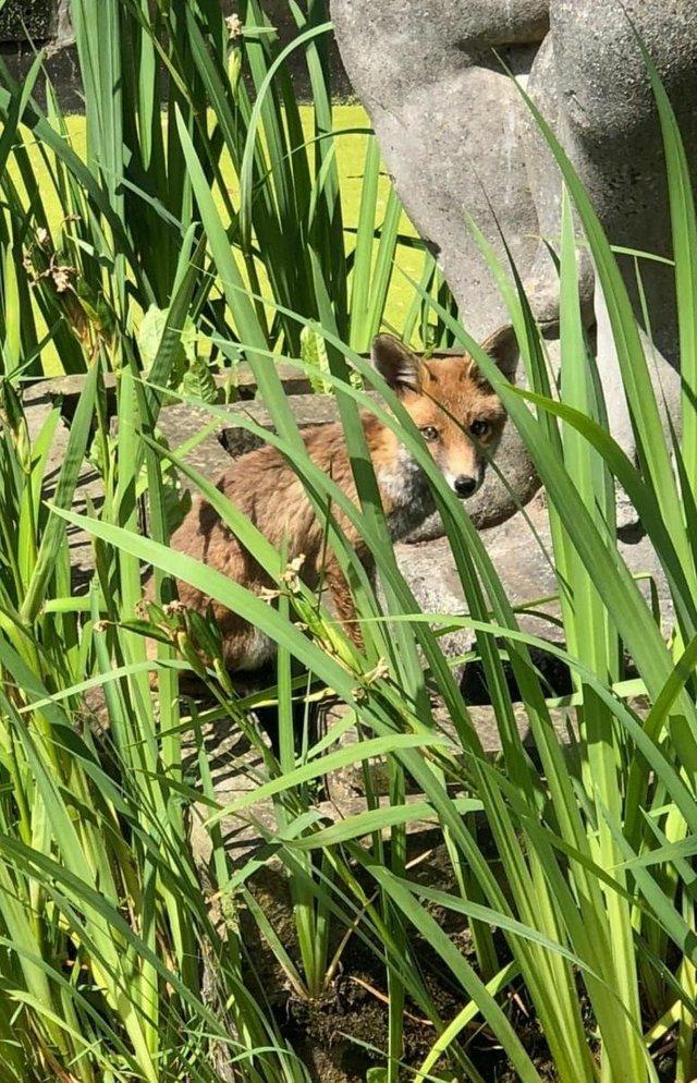 Fox in Richmond.jpg