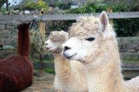 surrey-hills-llamas.jpg