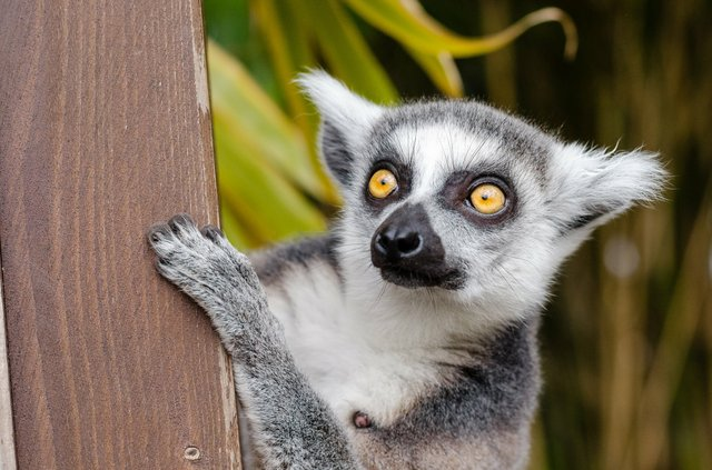lemur-ring-tailed-lemur-primate-mammal.jpg
