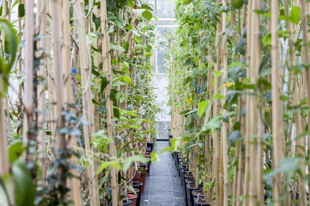© RBG Kew:Steve Lancefield. Behind the scenes in the Tropical Nursery 4.jpg
