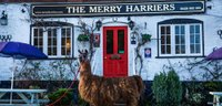 best-pub-surrey-godalming-Merry-Harriers_Llama.jpg
