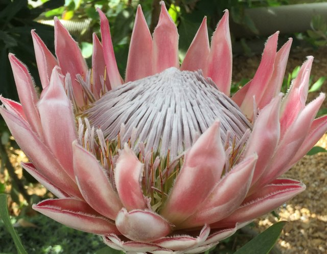 Protea Cynaroides in the Glasshouse cr RHS.jpg