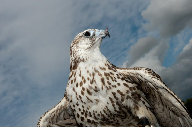 Credit - The Falconry School, Gloucestershire - WWT Birds of Prey 2.jpg