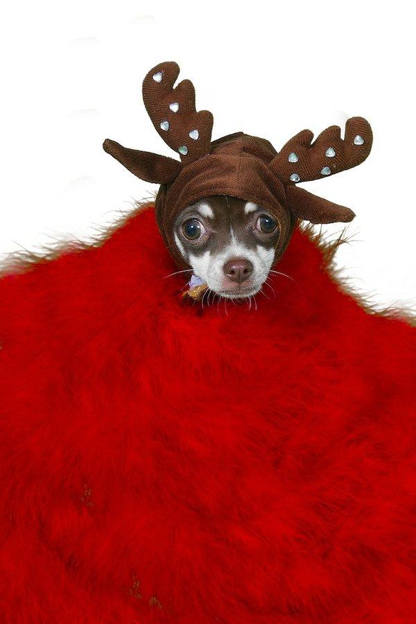 Queenie the Chihuahua