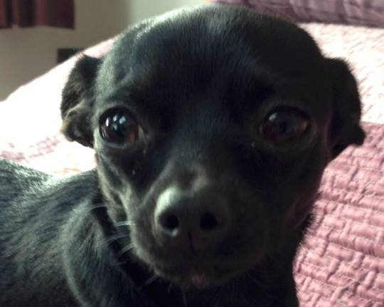 Aiza Chihuahua missing
