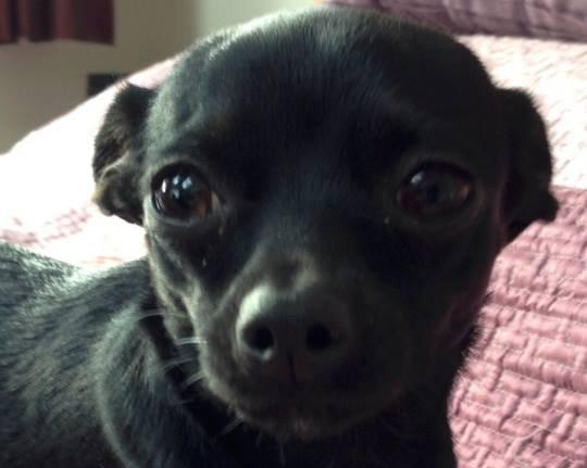Aiza Chihuahua missing
