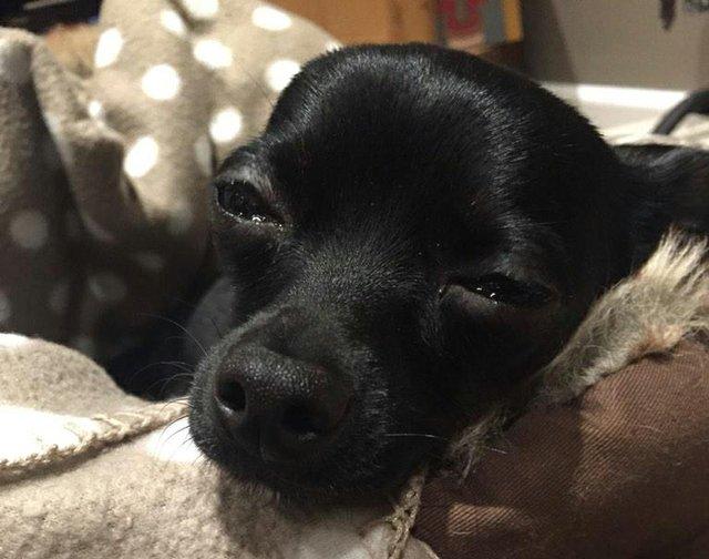 Aiza the Chihuahua found