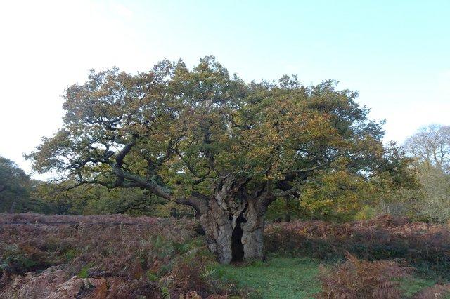 royal oak .jpg