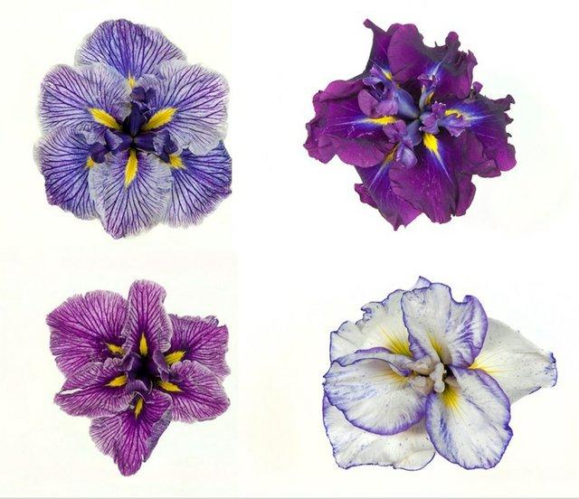 RHS Garden Wisley British Iris Soc Show cr RHS.jpg