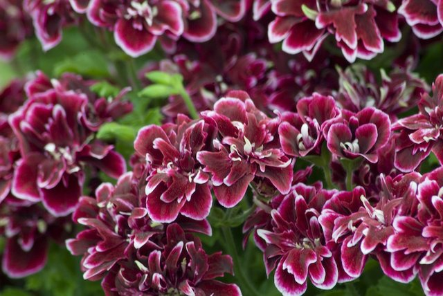 pelargonium wisley