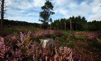 farnham heath lavender.jpg