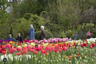 wisley tulips spring crop.jpg