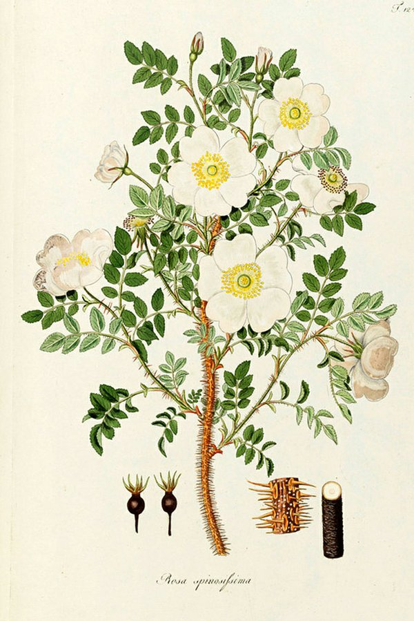 RHS Garden Wisley - Wild Roses in the Library cr. RHS_Lindley Libraries.jpg