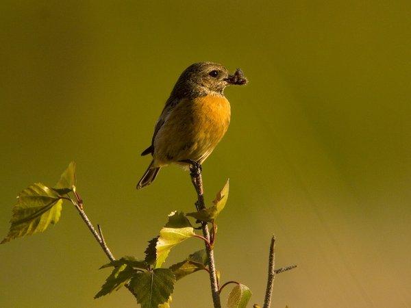 bird stonechat female.jpg