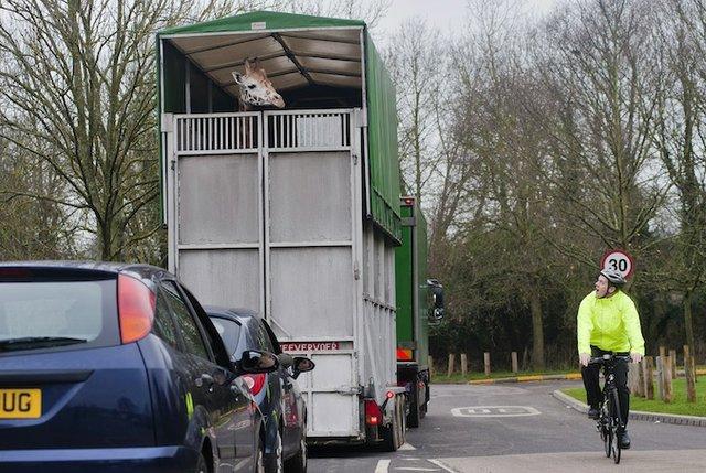 You're having a giraffe! New arrivals at Chessington.
