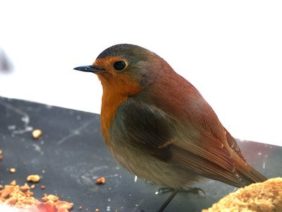 robin red breast.jpg