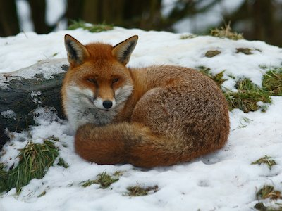 Sleepy_Fox.jpg