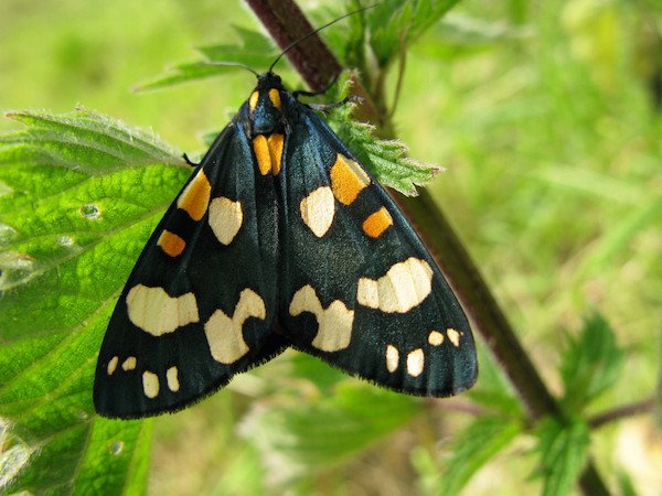 RHS Feb Half Term Scarlet Tiger Moth  c RHS.JPG