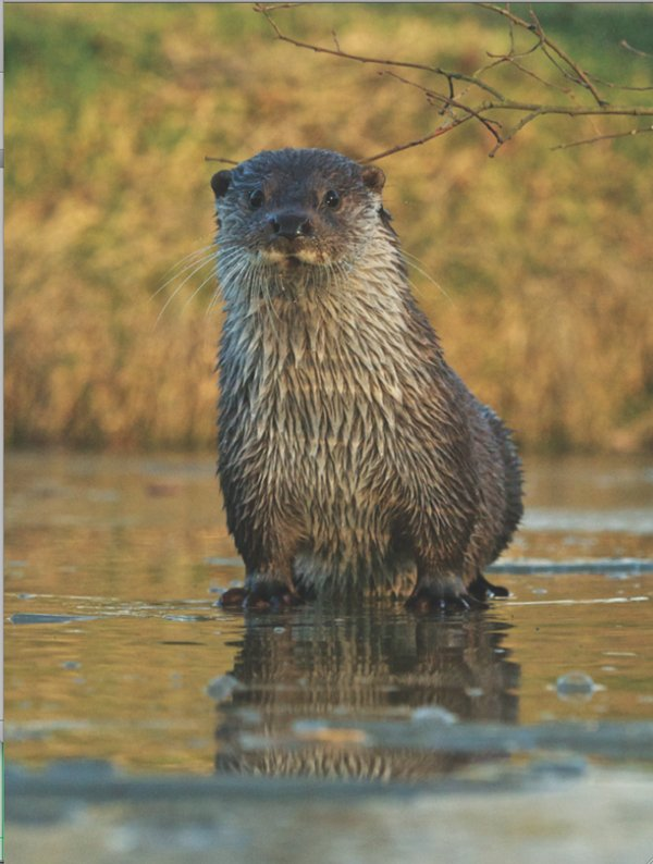 otter return.png