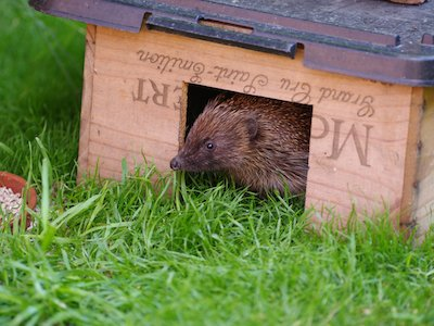 SWT Hedgehog_in_Feeding_box_web copyweb2.jpeg