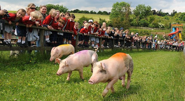 bocketts farm pig race.jpg