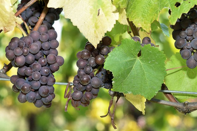grapes of wine.jpg
