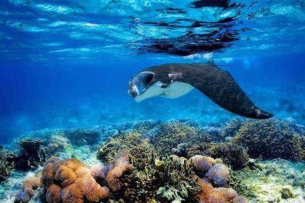 manta ray, yasawa islands, fiji copyweb.jpeg