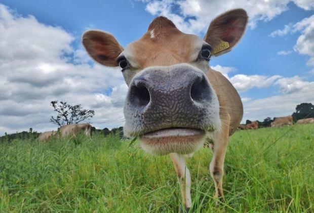 Cindy the Cow copy.jpg