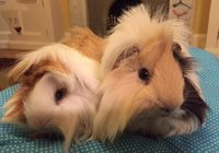 Guinea pigs long hari.jpg