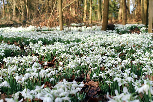 National Trust Press Image_Snowdrops in Cliveden Woodland_Credit Meghan ... copy.jpg